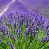 Heilpflanzengarten, Lavendel